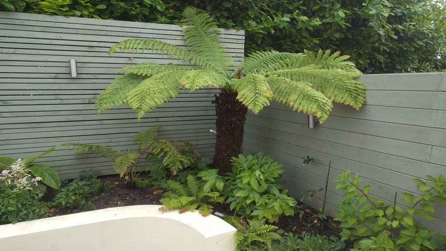 tree fern in domestic garden setting