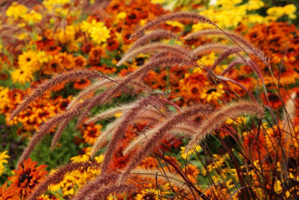 autum planting combination orange rudbeckia with grasses