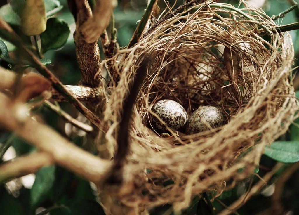 bird nest in hedgerow