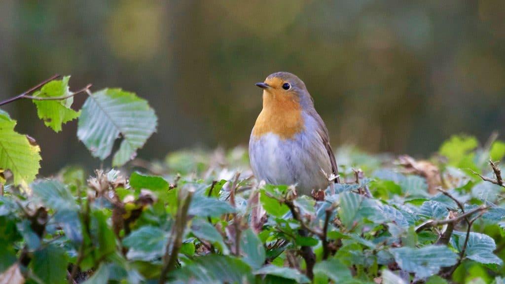 garden design to attract birds should include native hedging