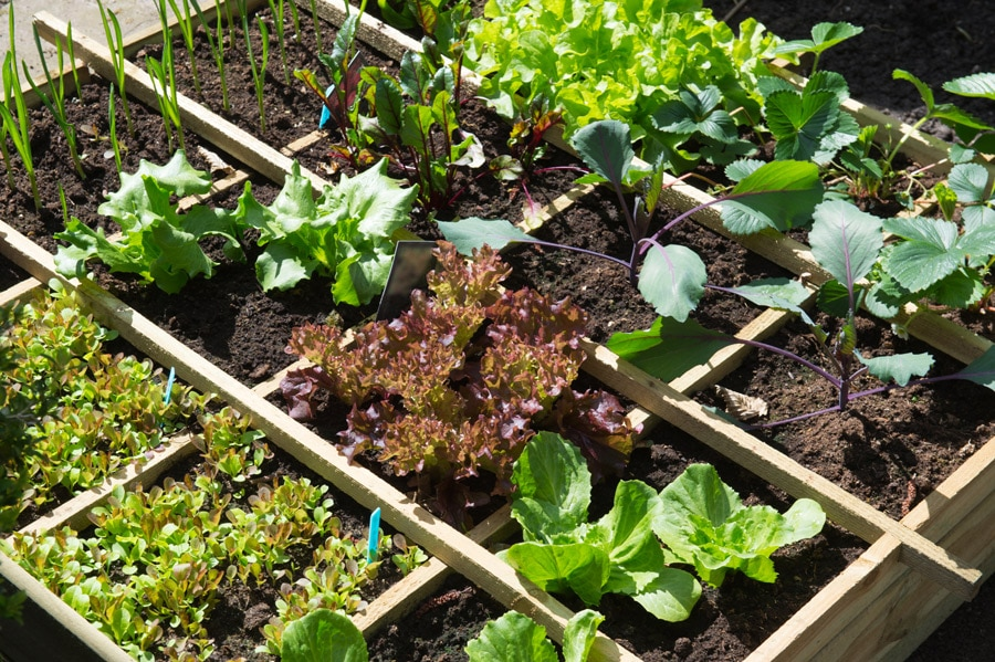 growing vegetables with the square foot gardening method