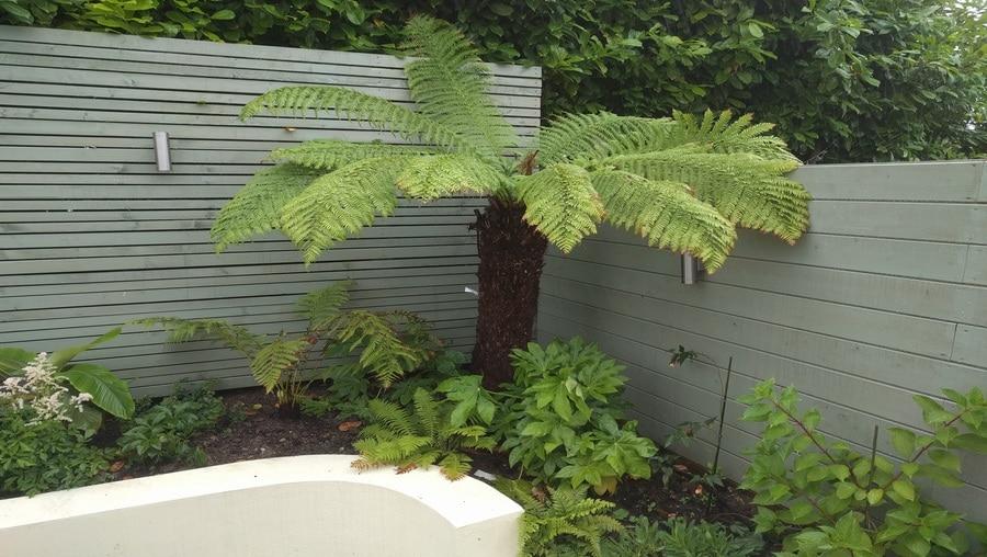 tree fern for tropical themed garden