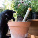 black cat playing with teracotta flower pot and chrysanthemums.